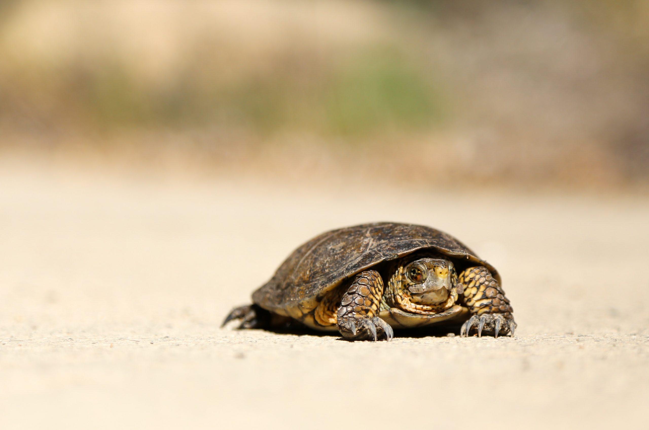turtle, sand